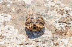 Zamyka up Tortoise kłaść na cementowej podłoga przy gada eksponatem Zdjęcie Royalty Free