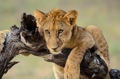 Zamyka up twarz lwa lisiątko Zdjęcie Stock