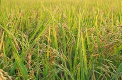 Zamyka up ucho irlandczyk, żółty ryżu pole w wczesnego poranku pobliskim żniwie zdjęcie stock