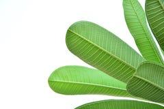 zamyka up urlop tekstura zielony urlop odizolowywający na bielu Obrazy Royalty Free