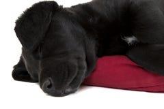 Zamyka up uroczy czarny lab szczeniak Fotografia Stock