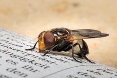 Zamyka up Volucella pellucens pellucid hoverfly siedzieć na gazecie z jaskrawym brown copyspace i tłem Obraz Royalty Free