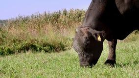 Zamyka up, w łące, na gospodarstwie rolnym, duży czarny rodowód, lęgowy byk pasa Lato ciepły dzień Bydło dla mięsnej produkci zbiory