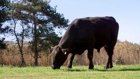 Zamyka up, w łące, na gospodarstwie rolnym, duży czarny rodowód, lęgowy byk pasa Lato ciepły dzień Bydło dla mięsnej produkci zdjęcie wideo