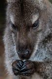 Zamyka up wallaby w Freycinet parku narodowym, Tasmania, Aust zdjęcia royalty free