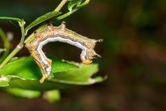 Zamyka up Wielka ogoniasta gąsienica Zdjęcie Stock