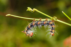Zamyka up Wielka ogoniasta gąsienica Fotografia Stock