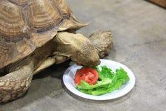 Zamyka up wielka Tortoise łasowania sałata Obraz Royalty Free