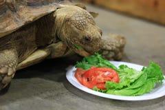 Zamyka up wielka Tortoise łasowania sałata Fotografia Stock