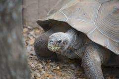 Zamyka up Wielki Galapagos Tortoise Obrazy Royalty Free