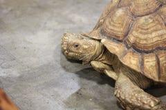 Zamyka up wielki Tortoise Zdjęcia Stock
