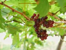 Zamyka up winogrona Zdjęcie Royalty Free