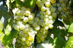 Zamyka up winogrona Obrazy Stock