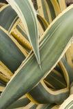 Zamyka up wklejeni liście agawy americana marginata Obraz Royalty Free