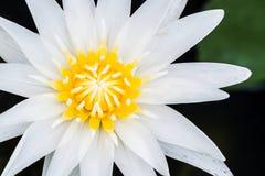 Zamyka up wodna leluja lub lotos fotografia stock