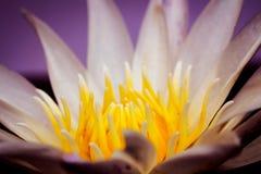 Zamyka up wodna leluja lub lotos obrazy stock