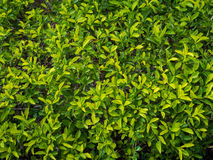 Zamyka up Złota Dewdrop roślina Naturalny tło Zdjęcia Royalty Free