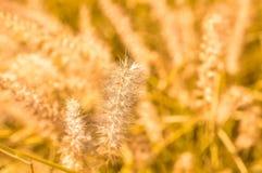 Zamyka up złota dzika trawa na zmierzchu Zdjęcie Royalty Free