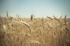 Zamyka up złoty pszeniczny pole Zdjęcia Royalty Free