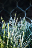 Zamyka up zamarznięci traw ostrza w wczesnym poranku Obrazy Royalty Free