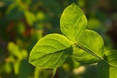 Zamyka up zieleni liście Zdjęcie Stock