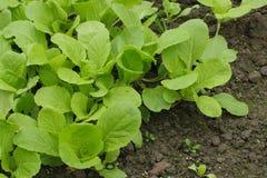 Zamyka up zieleni warzywa w polu Obrazy Royalty Free