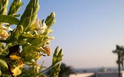 Zamyka up zielona canarian roślina zdjęcie royalty free