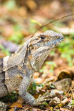 Zamyka up Zielona iguana - iguany iguana Obrazy Stock