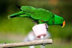 Zielony Lorikeet Fotografia Stock