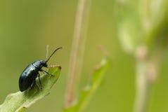Zamyka up zielonej małej pluskwy wspinaczkowy liść na zamazanym tle Zdjęcie Royalty Free
