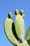 Zamyka up zielony Opuntia kaktus na niebieskim niebie Zdjęcia Royalty Free