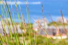Zamyka up zielony reet trawy chodzenie w wiatrze z oceanem i pokrywać strzechą dachowych chałupach w tle przy Spokojną zatoką Obrazy Stock