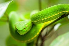 Zamyka, Vogel's jamy Zielona żmija w dzikim drzewie, breathtaking oczy, kolory i skóra Zielona jamy żmija, Khao Yai park narodo zdjęcie stock