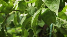 Zamyka W górę Chili rośliny