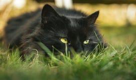 Zamyka w górę portreta tomcat Chantilly Tiffany kłaść na trawie i patrzeje kamera na zmierzchu Ciemny czarny kot z dużym obrazy royalty free