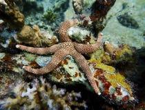 Zamyka W górę rozgwiazdy lub Dennej gwiazdy na Wibrującej rafie koralowej zdjęcie royalty free