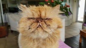 Zamyka w górę twarzy brzydki kot z swój oczami zamykającymi ściśle zdjęcie stock