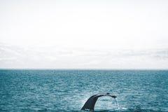 Zamyka w górę widoku ogon humpback wieloryba doskakiwanie w zimnej wodzie Atlantycki ocean w Iceland Pojęcie wieloryb obraz royalty free