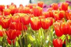 Zamyka w górę wzór natury kolorowi ornamentacyjni kwiaty czerwień i koloru żółtego tulipanu pola z wodnych kropel grupowym kwitni obraz stock