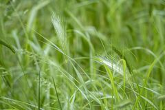Zamyka w górę ściennego jęczmienia pola w naturze obrazy stock