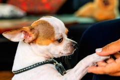 Zamyka w górę ślicznej chihuahua psa chwiania ręki Zdjęcia Stock