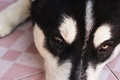 Zamyka w górę śmiesznej czarnej Syberyjskiego husky twarzy Obrazy Stock