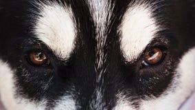 Zamyka w górę śmiesznej czarnej Syberyjskiego husky twarzy Fotografia Royalty Free