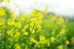 Zamyka W górę Żółtego Brassica napus kwiatu obraz royalty free