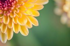 zamyka w górę żółtego kwiatu tła kwiatu abstrakta abstrakcjonistycznego backg Fotografia Stock