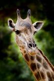 Zamyka w górę żyrafy Zdjęcia Royalty Free