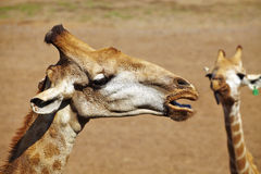 Zamyka w górę żyrafy głowy Zdjęcia Royalty Free