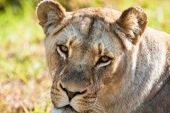 Zamyka w górę afrykańskiego żeńskiego lwa spojrzenia obraz stock