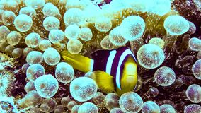 Zamyka w górę anemonowej ryby w Eilat, Izrael zdjęcie royalty free