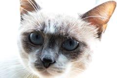 Zamyka W górę błękit Przyglądającego się kota zdjęcia stock